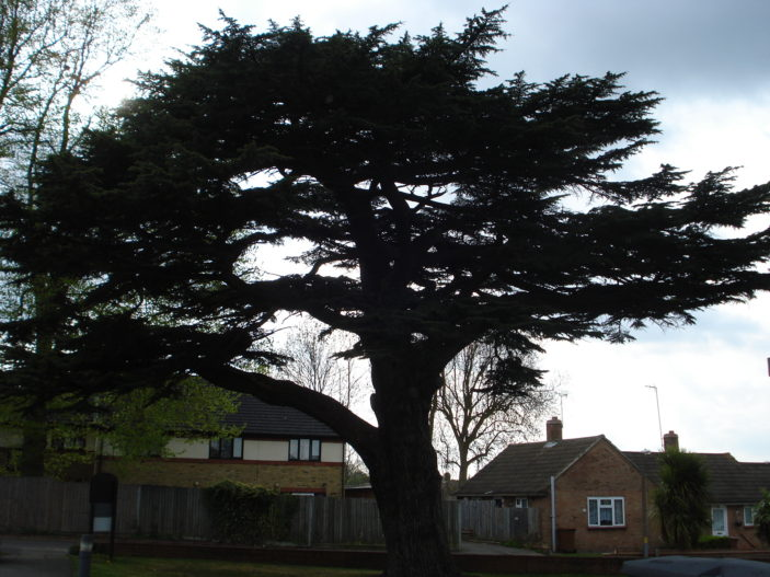 large tree to rear of Oxhey chapel | sue green