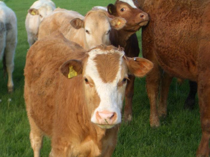 Merry Hill Cows | Joanne Neville